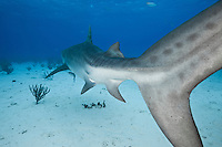 RW2884-D. Tiger Shark (Galeocerdo cuvier), large and dangerous species growing to at least 18 feet long; feeds on wide variety of things- sea turtles, fish, invertebrates, marine mammals; found in shallow coastal waters as well as the deep open ocean. Bahamas, Atlantic Ocean.<br /> Photo Copyright &copy; Brandon Cole. All rights reserved worldwide.  www.brandoncole.com