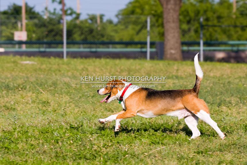 Classic Beagle doing what Beagles do best - run, run, run.