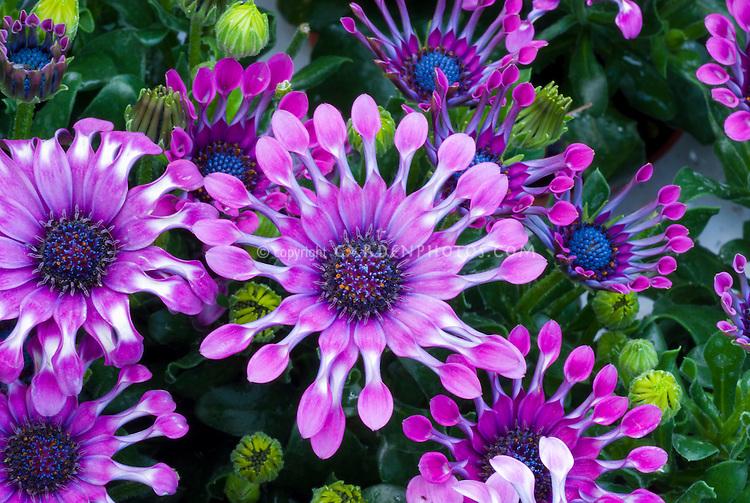 Osteospermum Nasinga Purple with whirled petals fluted