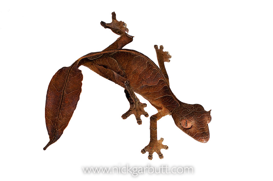 Satanic Leaf-tailed Gecko (Uroplatus phantasticus) on white background. From Ranomafana National Park, Madagascar.