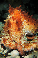 Photo KK-2063. Pacific Giant Octopus (Enteroctopus dofleini)..Photo Copyright © Brandon Cole. All rights reserved worldwide.  www.brandoncole.com.This photo is NOT free. It is NOT in the public domain..Rights to reproduction of photograph granted only upon payment in full of agreed upon licensing fee. Any use of this photo prior to such payment is an infringement of copyright and punishable by fines up to  $150,000 USD...Brandon Cole.MARINE PHOTOGRAPHY.http://www.brandoncole.com.email: brandoncole@msn.com.4917 N. Boeing Rd..Spokane Valley, WA  99206  USA..tel: 509-535-3489..