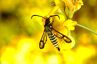 Six-belted Clearwing Bembecia ichneumoniformis Length 11-14mm. An unusual day-flying moth that recalls a small wasp. Adult has a black body with six yellow bands on the abdomen. Wings are mainly clear with dark veins, yellow tips and orange patches. Flies June-August. Larva feeds on roots of Bird's-foot Trefoil and Kidney Vetch.