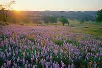 Douglas' lupine at sunrise<br />