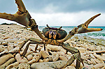 21 August 2004: A crab (disambiguation) walks over broken coral as it approaches the camera to defend its territory on the Dutch Island of Bonaire. Bonaire, known for its pioneering role in the preservation of the marine environment and is part of the Netherlands Antilles group of islands.  Located in the southern Caribbean, off the coast of Venezuela, Bonaire is renowned for its excellent scuba diving, snorkeling, and windsurfing. ..Mandatory Photo Credit: Ed Wolfstein Photo