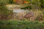 White-tailed buck eating dried milkweed pods