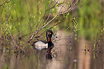 Drake ring-necked duck swimming in a northern Wisconsin lake.