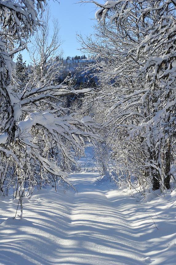 Winter trees,Vinterskog Landscape, landskap,