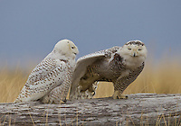Male and female snowy owl on a driftwood log, the female stretching her wing.<br />