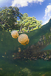 Jellyfish at the surface, Mastigias sp., Jellyfish Lake, Kakaban Island, Berau, Kalimantan, Borneo, Indonesia, Pacific Ocean