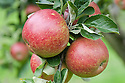 Apple 'Dawn', mid September. A dessert apple dating from 1940. Probably bred in Hertfordshire.