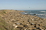 California, San Luis Obispo County:  Elephant Seals gather at Piedras Blancas beach..Photo caluis191-70985..Photo copyright Lee Foster, www.fostertravel.com, 510-549-2202, lee@fostertravel.com