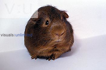 Domestic Guinea Pig ,Cavia porcellus,, popular pet rodent