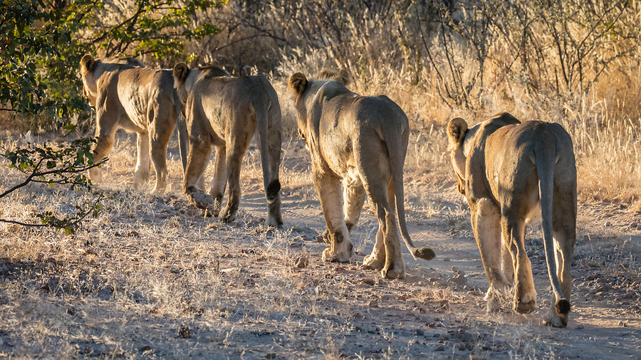 Lion File In The Private Ongava Reserve, Etosha.