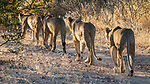 Lion File In The Private Ongava Reserve, Etosha.