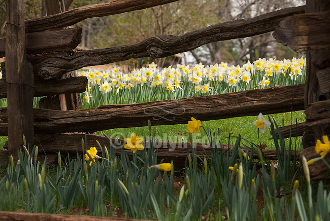 Split rail fence, McLaughlin's Daffodil Hill in bloom, Volcano, Calif.