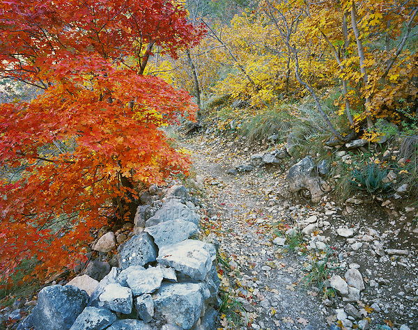 Trail with Bigtooth Maples (Acer grandidentatum) fallcolors, McKittrick Canyon, Guadalupe Mountains National Park, Texas, USA
