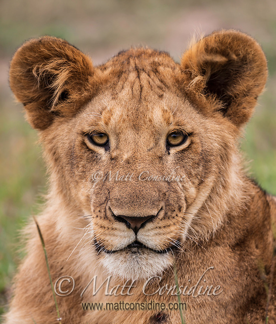 Young lion portrait close up, in the Masai Mara National Reserve, Kenya, Africa (photo by Wildlife Photographer Matt Considine)