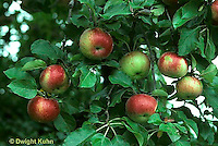 AT10-010c   Apple Tree - fruit, Wolf River variety