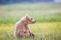 A brown bear (Ursus acrtos) cub plays in the summer sunshine at Katmai National Park