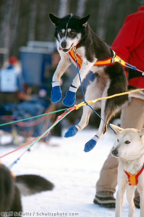 D Straub's Dog Jumps to go @ Wasilla Restart 00 Iditarod AK