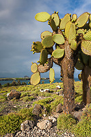 Prickly pear cactus, South Plaza Island, Galapagos Islands, Ecuador