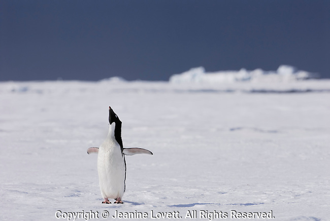Adelie Penguin on the sea ice with ice bergs in the background throws its wings back and calls.