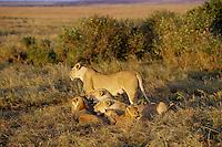 African Lion (Panthera leo) pride, Masai Mara National Reserve, Kenya.