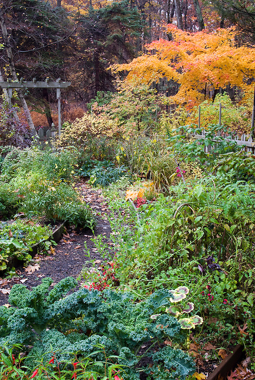 Fall garden with ornamental kale Brassica vegetable with annuals and perennials, picket fence, trellis evergreens, tomato plant, Acer palmatum Japanese maple, lilac in autumn colors foliage