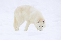 Arctic Wolf standing with its nose in the snow - CA