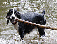 0808-0813  English Springer Spaniel Playing with Stick in Water, Canis lupus familiaris © David Kuhn/Dwight Kuhn Photography.