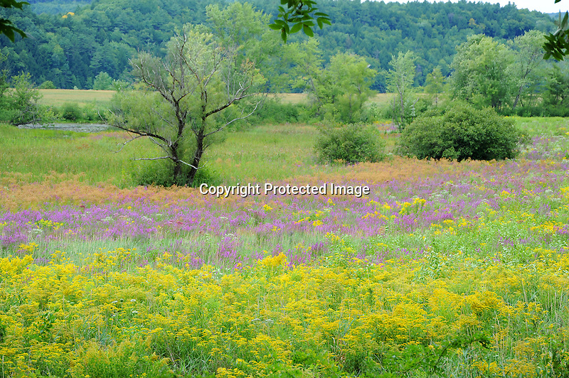 Field of wildflowers in the Connecticut River valley in New Hampshire USA