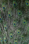 Tail feathers of Indian blue peacock