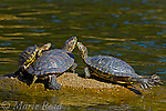 Red-eared Turtles (Pseudemys scripta elegans), three sunning on a rock in a pond, California, USA (introduced)