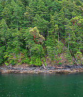 WASJ_D172 - USA, Washington, San Juan Islands, Shaw Island, Forest of Douglas fir with scattered Pacific madrone trees above shoreline.