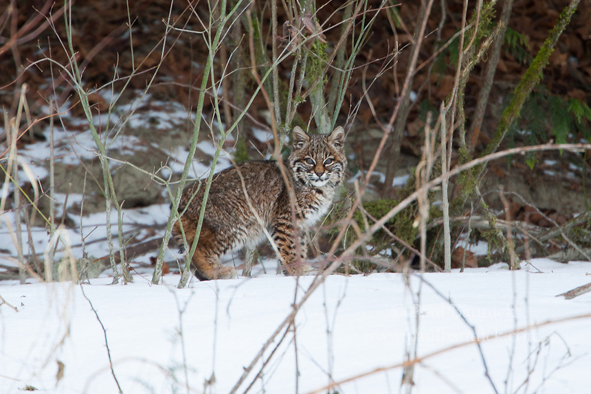 A bobcat patrols the shore of the Skagit River at dawn.