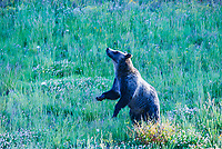 A large, male grizzly bear in Northwest Wyoming appears to be dancing as he sniffs the air around him for potential food and threats.