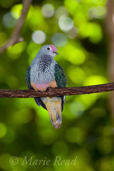 Rose-crowned Fruit Dove(Ptilinopus regina), Rainforest Habitat, Port Douglas, Queensland, Australia. Captive.