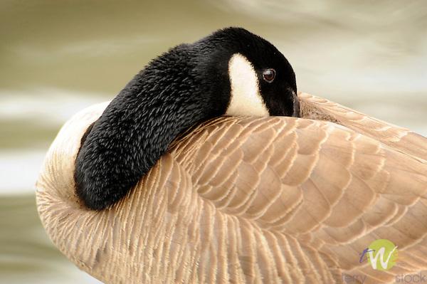 Canadian Goose. Resting.