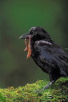 Common Crow/American Crow with earthworm. British Columbia, Canada. (Corvus brachyrhynchos). Pet crow.