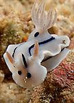 Chromodoris lochi Nudibranch
