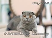 Xavier, ANIMALS, REALISTISCHE TIERE, ANIMALES REALISTICOS, cats, photos+++++,SPCHCATS860,#a#