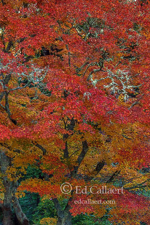 Autumn, Japanese Maple, Mill Valley, Marin County, California