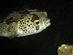 Kenting, Taiwan -- A porcupinefish at night.