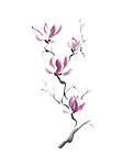 Branch of magnolia blossoms purple flowers artistic oriental style illustration, Japanese Zen Sumi-e ink painting isolated on white background