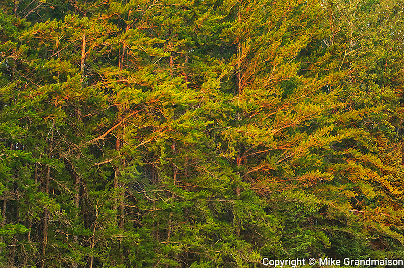 Jack pine trees at sunset<br />