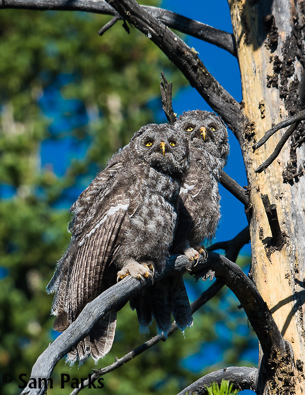 Great gray owl fledglings. Grand Teton National Park, Wyoming.