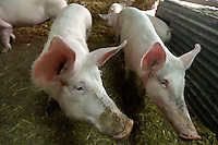 Chez Dominique BOUTILLIER, des porcs eleves sur de la paille et avec de l'espace, le bonheur du cochon.