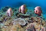 Three spadefish in formation on coral reef, Platax orbicularis, Acropora sp., Menjangan Island National Park, Pemuteran, Bali, Indonesia, Pacific Ocean
