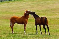 Thoroughbred horses and foals, Renvyle Farm, Harp Innis Road, Lexington, Kentucky USA
