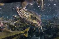 Chum Salmon, Oncorhynchus keta, migrating up river to spawn, Juneau, Alaska